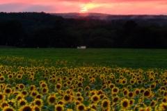 Sunflowers Under Red Skies