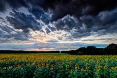 Sunflowers Under Stormy Skies