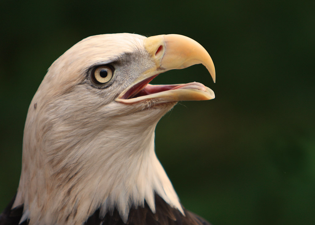 The Bald Eagle The Symbol Of A Nation