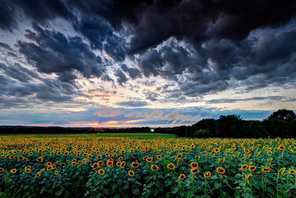 Sunflowers-Under-Stormy-Sky-Mike-Dooley.jpg