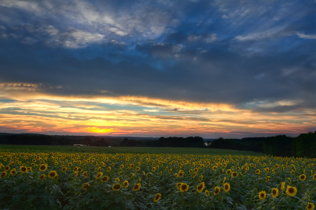 Fine Art Landscape Photograph of a giant field of sunflowers just as the sun sets on the horizon